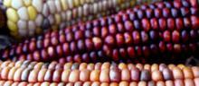 OGM: pro o contro?